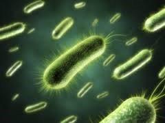 Bacillus subtilis | Bacillus subtilis