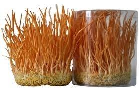 Đông trùng hạ thảo sợi khô Việt Nam 8g bồi bổ cơ thể | Đông trùng hạ thảo sợi khô Việt Nam 8g bồi bổ cơ thể